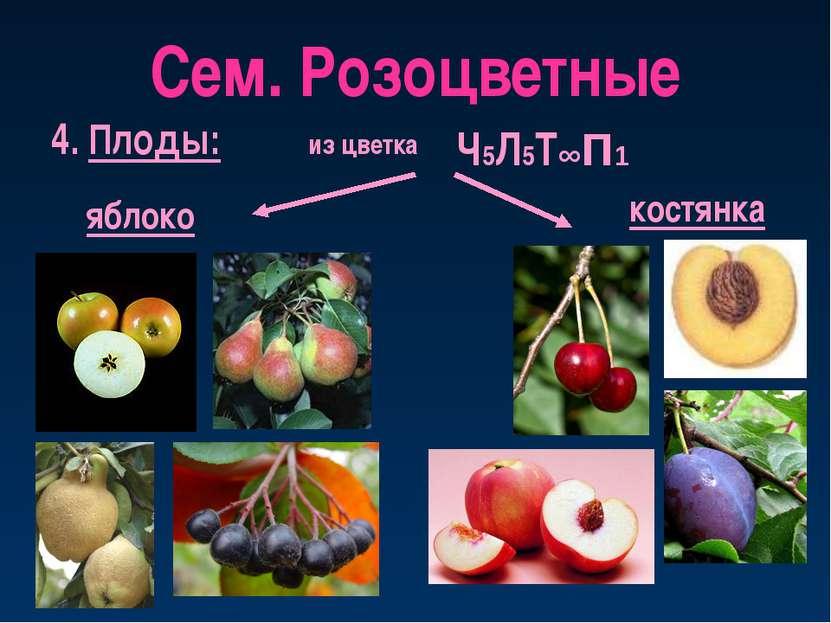 Сем. Розоцветные 4. Плоды: яблоко из цветка костянка Ч5Л5Т∞П1