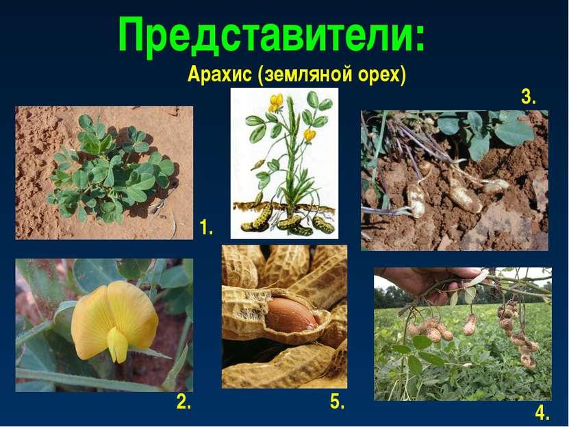 Представители: Арахис (земляной орех) 1. 2. 3. 4. 5.