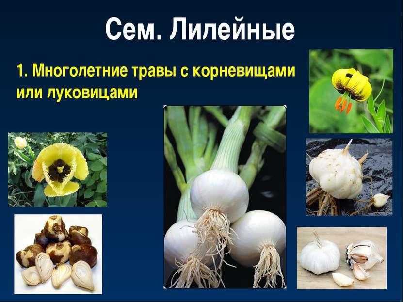 Сем. Лилейные 1. Многолетние травы с корневищами или луковицами