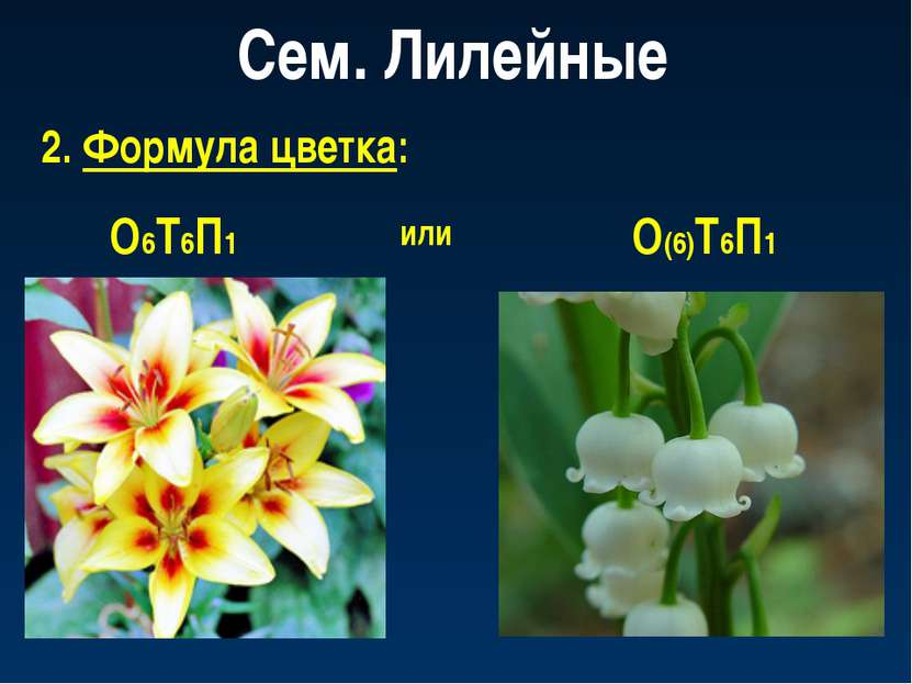 Сем. Лилейные 2. Формула цветка: О6Т6П1 или О(6)Т6П1