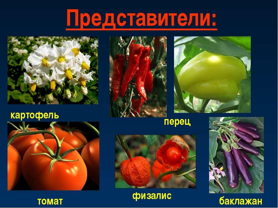 Представители: картофель физалис перец томат баклажан