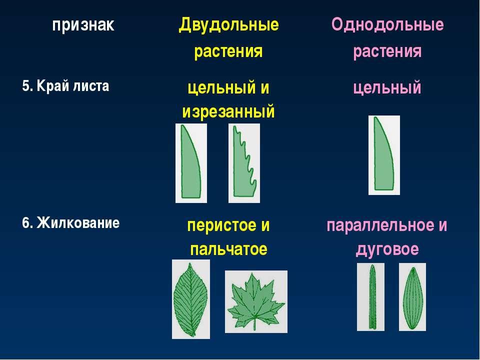признак Двудольные растения Однодольные растения 5. Край листа цельный и изре...
