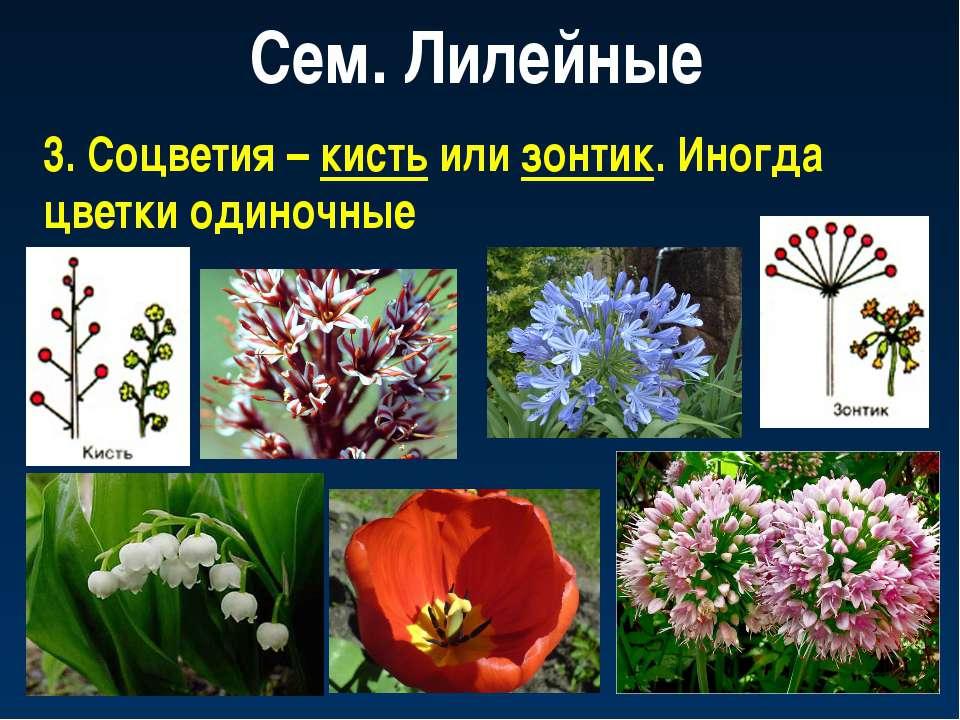 Сем. Лилейные 3. Соцветия – кисть или зонтик. Иногда цветки одиночные