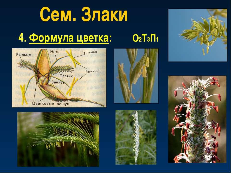 Сем. Злаки 4. Формула цветка: О2Т3П1