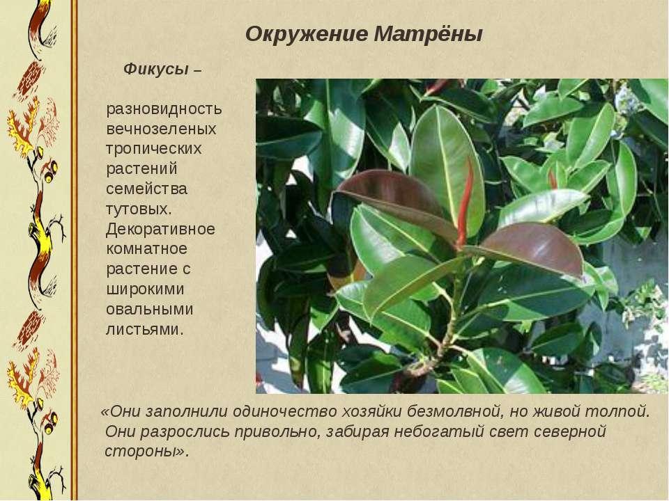 Фикусы – разновидность вечнозеленых тропических растений семейства тутовых. Д...