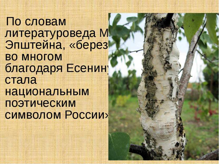 По словам литературоведа М. Эпштейна, «береза во многом благодаря Есенину ста...