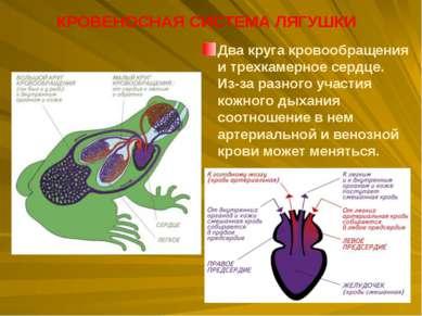 Два круга кровообращения итрехкамерное сердце. Из-за разного участия кожного...