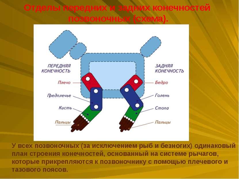 Отделы передних и задних конечностей позвоночных (схема). У всех позвоночных ...