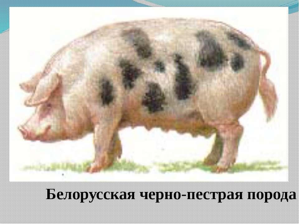Белорусская черно-пестрая порода