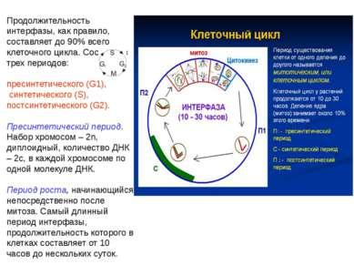 Продолжительность интерфазы, как правило, составляет до 90% всего клеточного ...