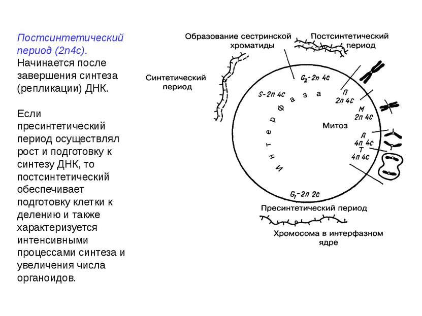 Постсинтетический период (2n4c). Начинается после завершения синтеза (реплика...