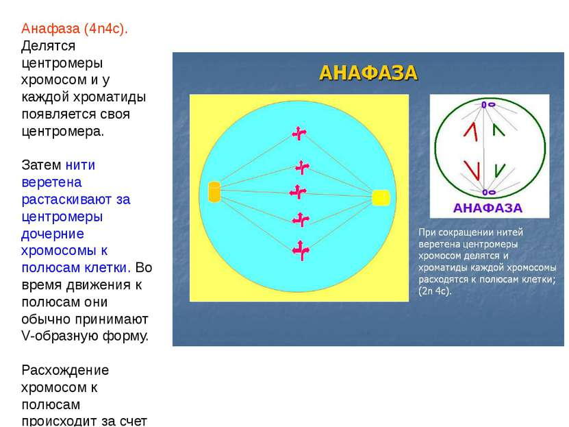 Анафаза (4n4c). Делятся центромеры хромосом и у каждой хроматиды появляется с...