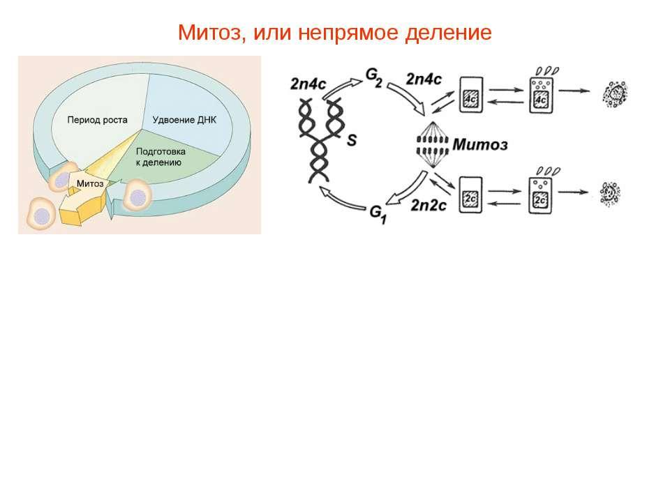 Митоз, или непрямое деление Существует два способа деления клеток: митоз — не...