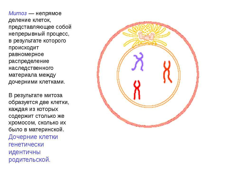 Митоз — непрямое деление клеток, представляющее собой непрерывный процесс, в ...