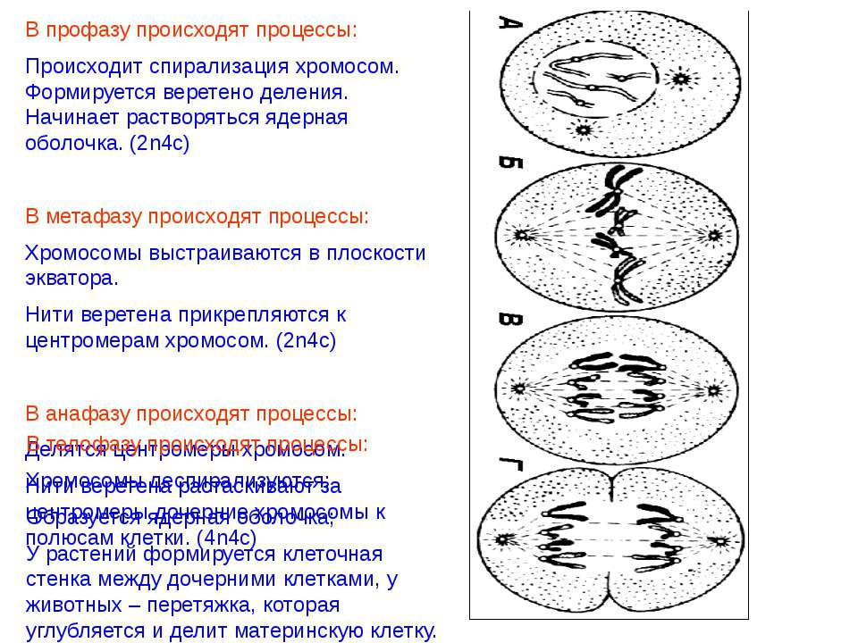 В профазу происходят процессы: Происходит спирализация хромосом. Формируется ...