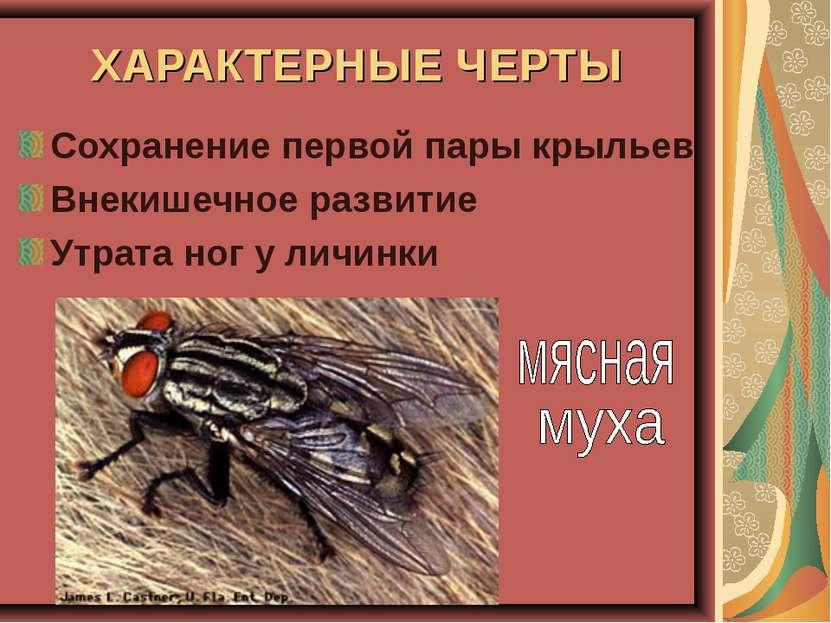 ХАРАКТЕРНЫЕ ЧЕРТЫ Сохранение первой пары крыльев Внекишечное развитие Утрата ...