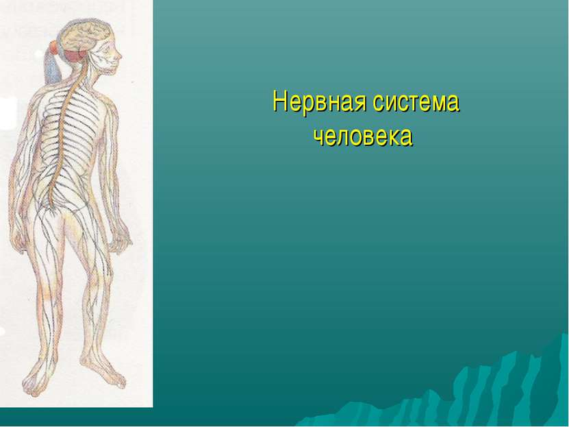 Нервная система человека