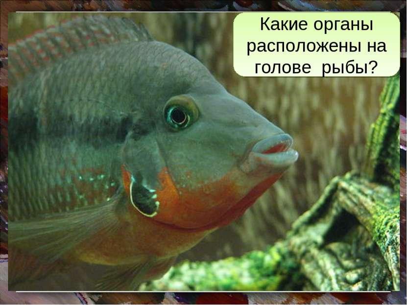 Какие органы расположены на голове рыбы?