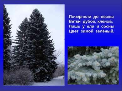 Почернели до весны Ветки дубов, клёнов, Лишь у ели и сосны Цвет зимой зелёный.