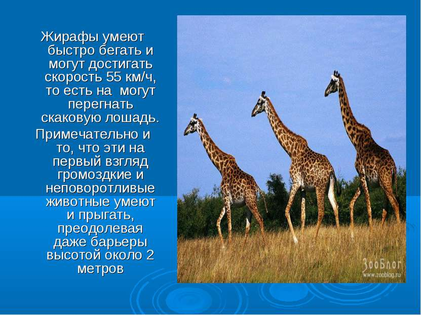 Жирафы умеют быстро бегать и могут достигать скорость 55 км/ч, то есть на мог...