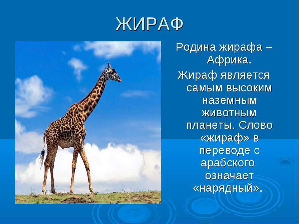 ЖИРАФ Родина жирафа –Африка. Жираф является самым высоким наземным животным п...