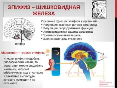 ЭПИФИЗ – ШИШКОВИДНАЯ ЖЕЛЕЗА Основные функции эпифиза в организме Регуляция се...
