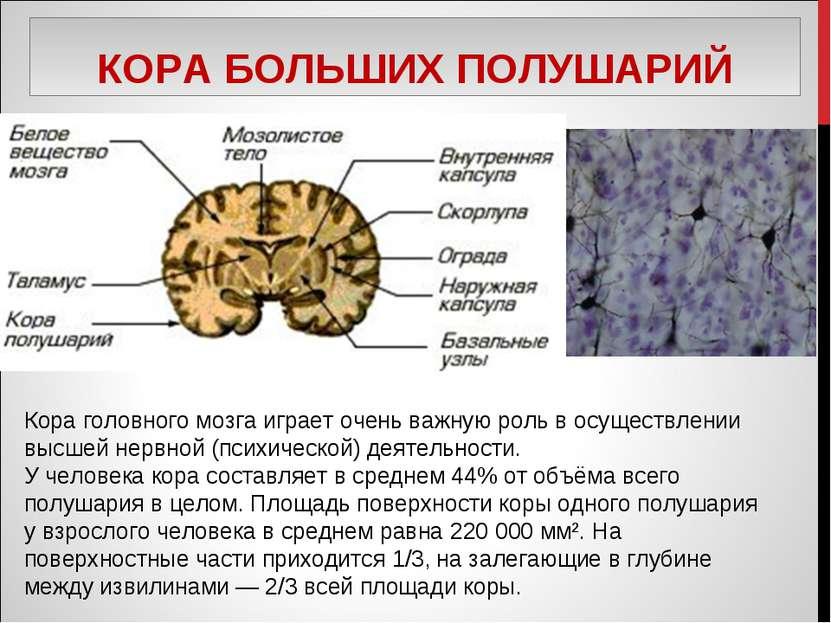 КОРА БОЛЬШИХ ПОЛУШАРИЙ Кора головного мозга играет очень важную роль в осущес...