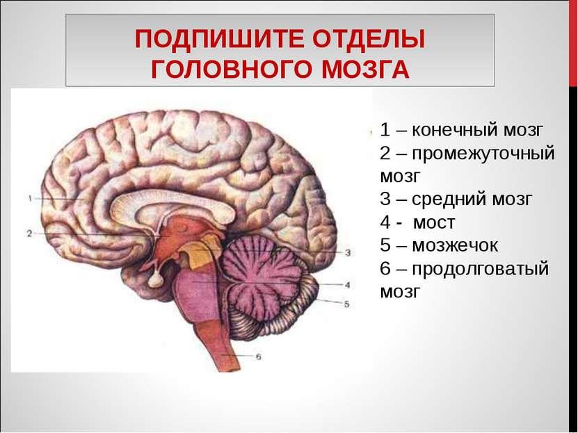 ПОДПИШИТЕ ОТДЕЛЫ ГОЛОВНОГО МОЗГА 1 – конечный мозг 2 – промежуточный мозг 3 –...