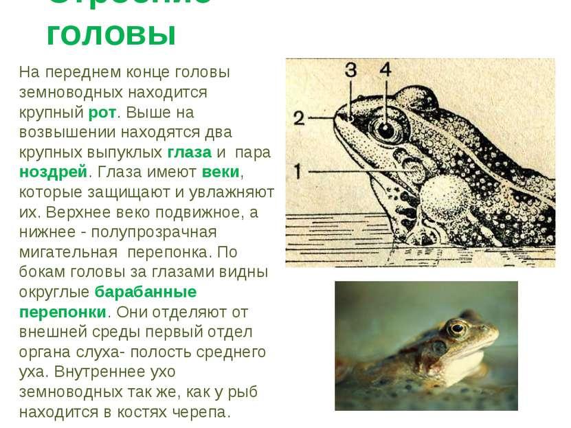 Строение головы На переднем конце головы земноводных находится крупный рот. В...