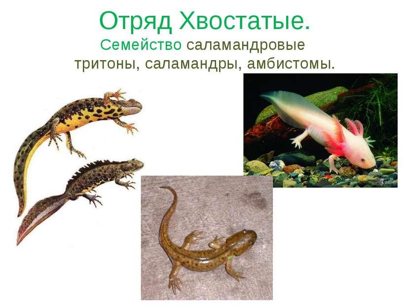 Отряд Хвостатые. Семейство саламандровые тритоны, саламандры, амбистомы.
