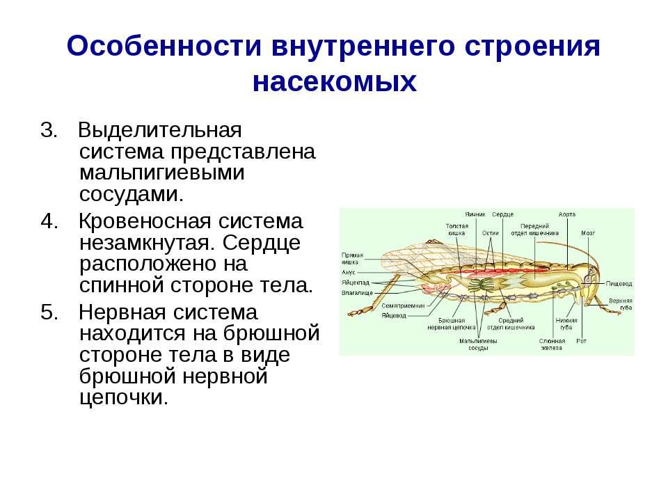Особенности внутреннего строения насекомых 3. Выделительная система представл...