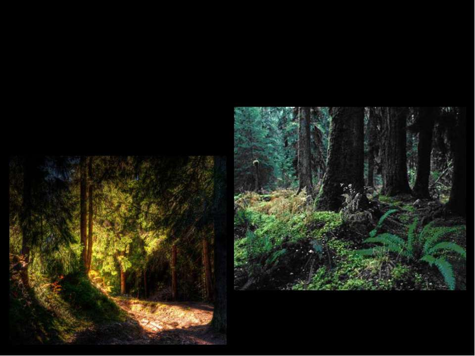 Как называются леса в которых растут только хвойные деревья? Хвойные леса.