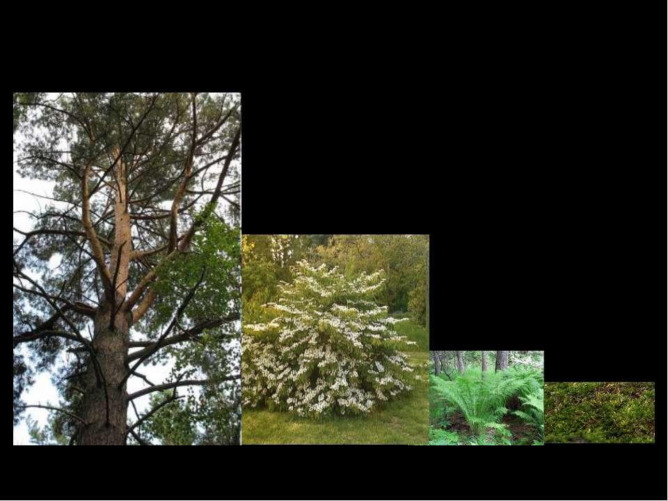 Какие же растения растут в лесу? деревья кустарники травянистые растения мхи