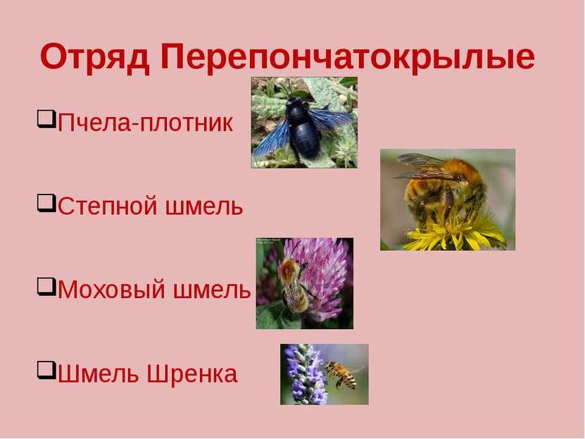 Отряд Перепончатокрылые Пчела-плотник Степной шмель Моховый шмель Шмель Шренка