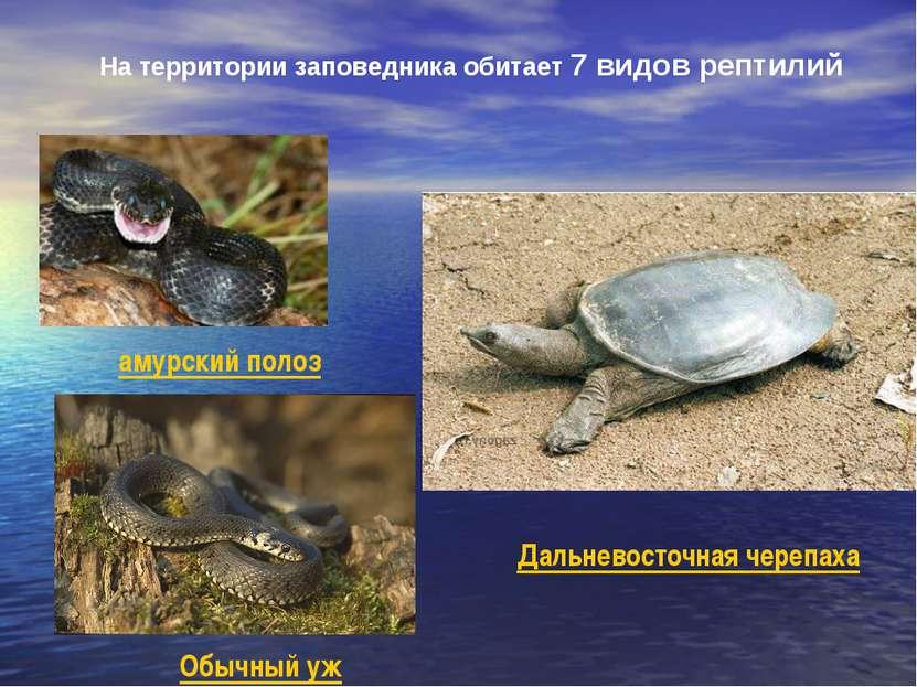 На территории заповедника обитает 7 видов рептилий амурский полоз Обычный уж ...