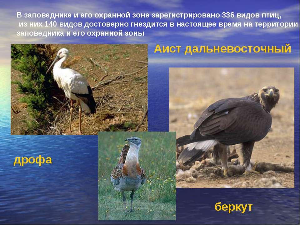 В заповеднике и его охранной зоне зарегистрировано 336 видов птиц, из них 140...