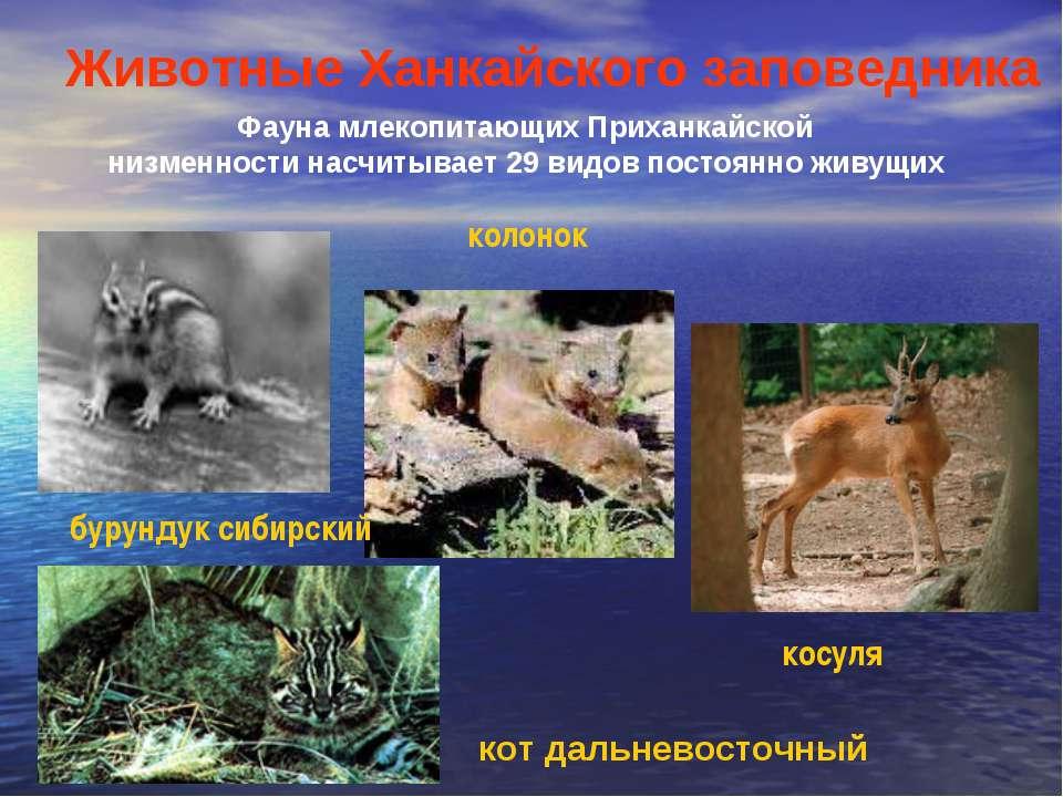 Фауна млекопитающих Приханкайской низменности насчитывает 29 видов постоянно ...