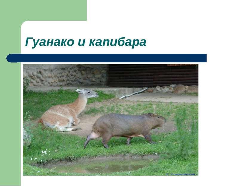 Гуанако и капибара