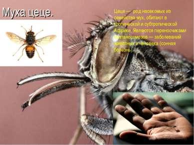 Муха цеце. Цеце — род насекомых из семейства мух, обитают в тропической и суб...
