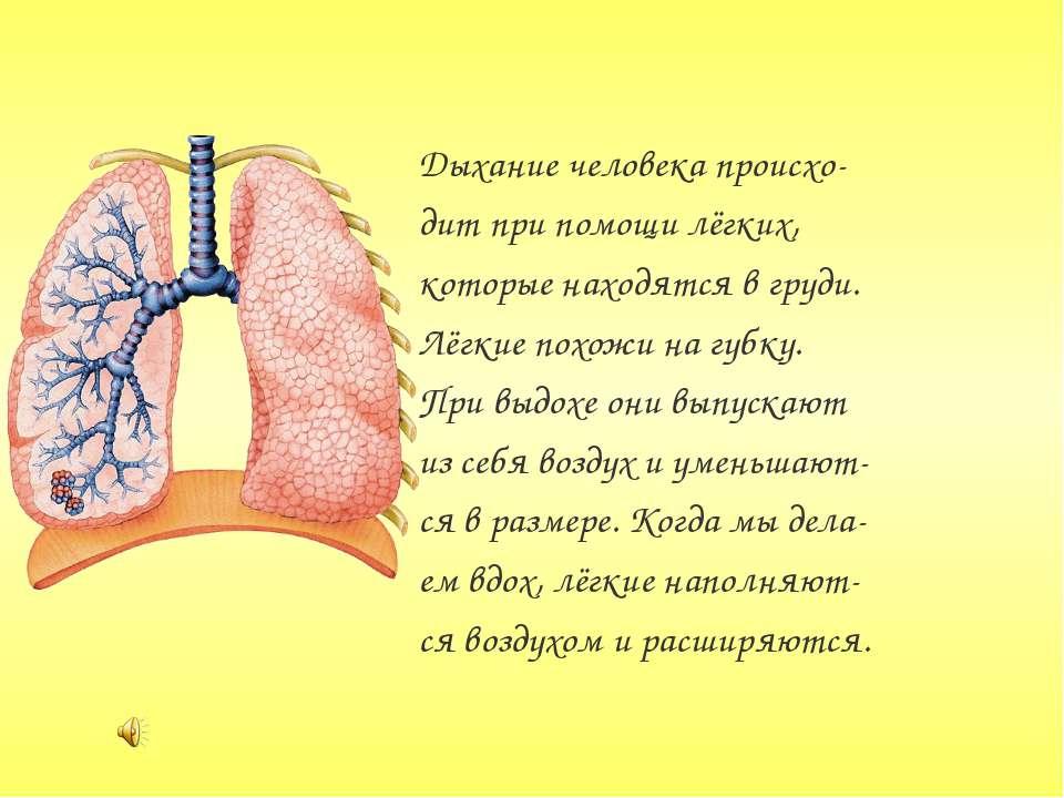 Дыхание человека происхо- дит при помощи лёгких, которые находятся в груди. Л...