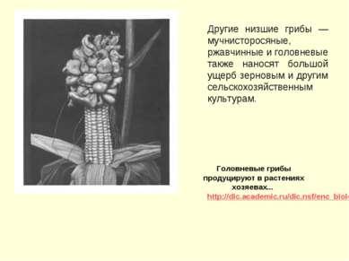 Другие низшие грибы — мучнисторосяные, ржавчинные и головневые также наносят ...