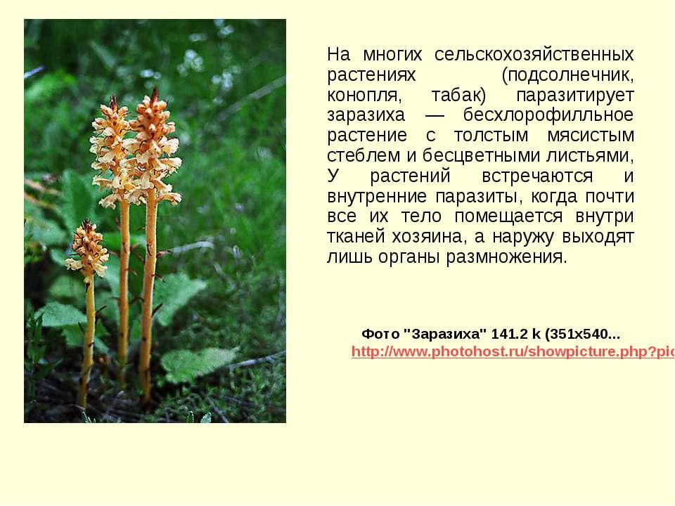 На многих сельскохозяйственных растениях (подсолнечник, конопля, табак) параз...