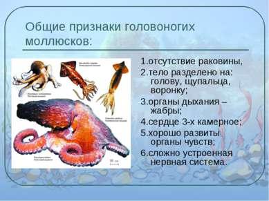 Общие признаки головоногих моллюсков: 1.отсутствие раковины, 2.тело разделено...