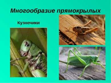 Многообразие прямокрылых Кузнечики