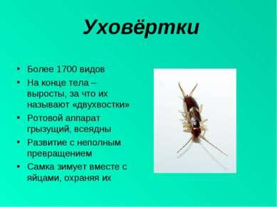 Уховёртки Более 1700 видов На конце тела – выросты, за что их называют «двухв...
