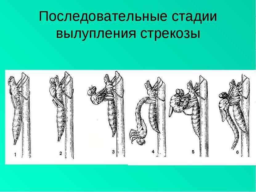 Последовательные стадии вылупления стрекозы