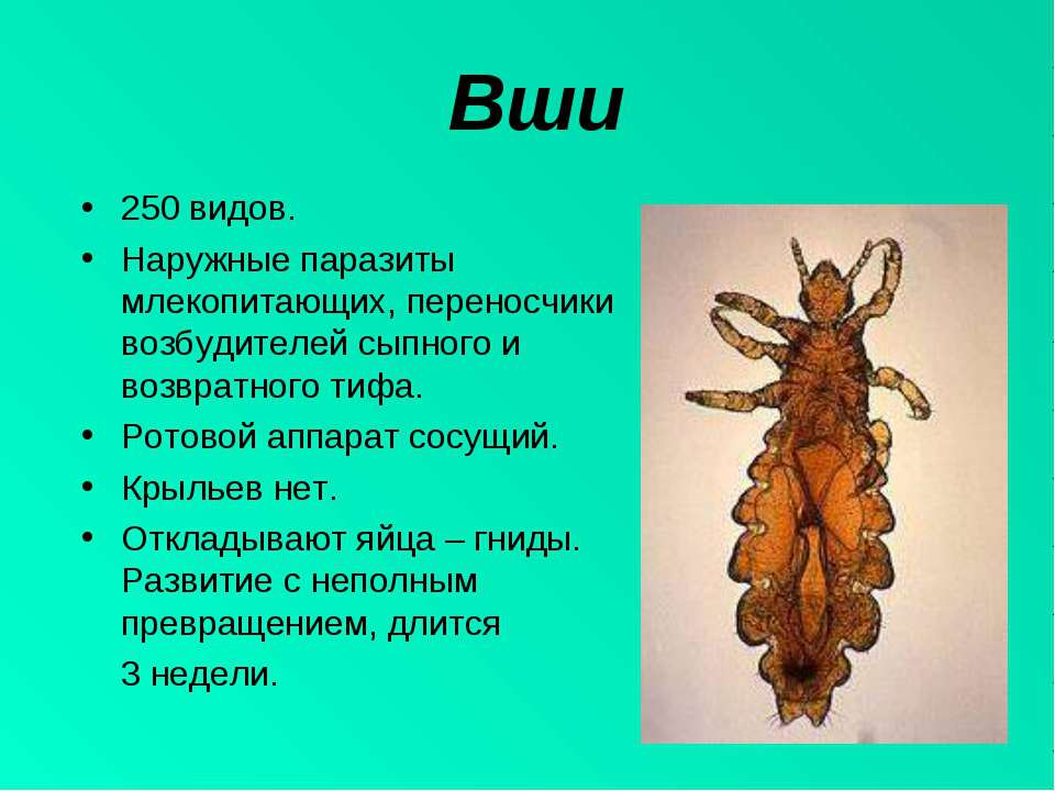 Вши 250 видов. Наружные паразиты млекопитающих, переносчики возбудителей сыпн...