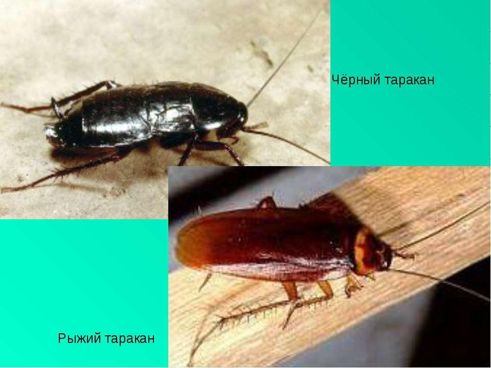Рыжий таракан Чёрный таракан