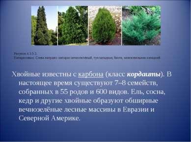 Хвойные известны с карбона (класс кордаиты). В настоящее время существуют 7–8...