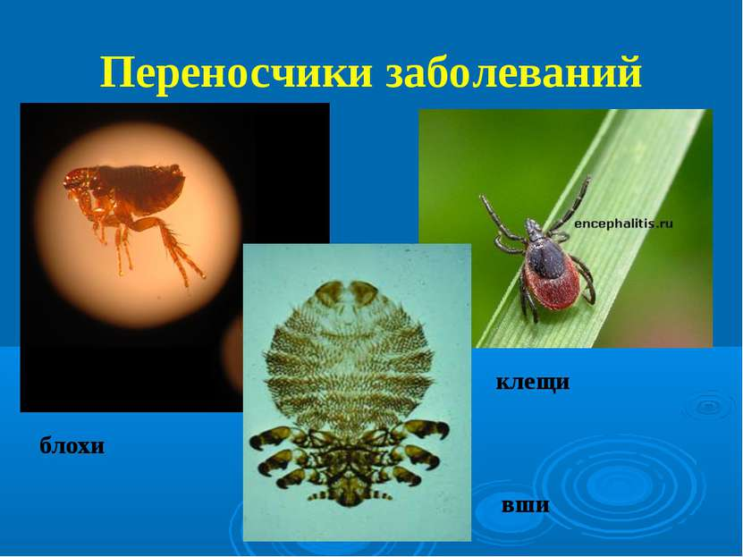 Переносчики заболеваний блохи вши клещи